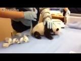 Как кричит панда!